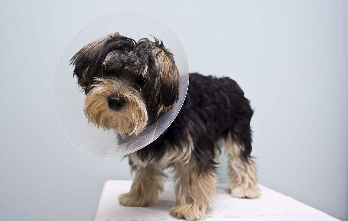 狗狗乳腺炎症状_为什么要给狗狗做绝育 - 蘑菇宠医
